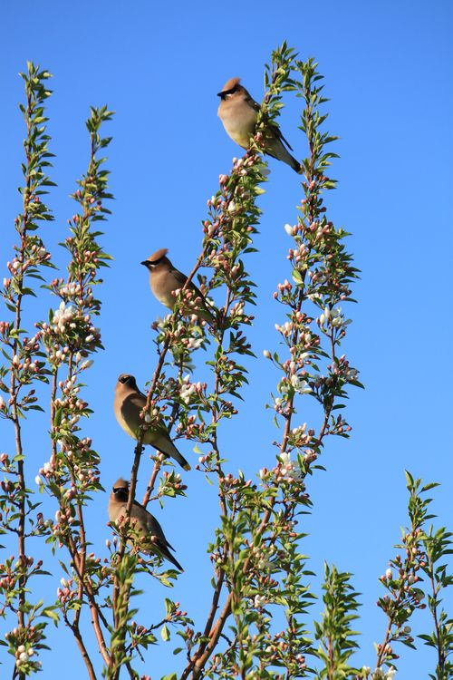 Waxwings in a row