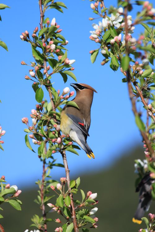 "Waxwing showing the ""wax"" on its wing"