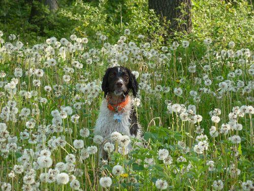 Senzi  in dandelion heaven