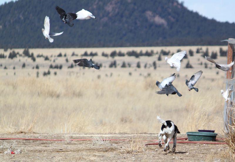 Cora chasing pigeons.