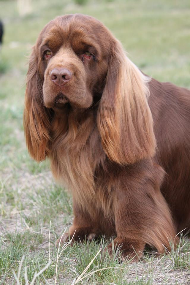Sussex Spaniel in Montana